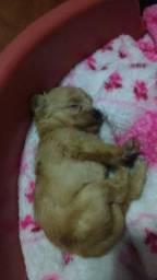 Yorkshire terrier Gold Mini Lindo Presente !