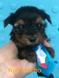 Yorkshire terrier micro fofissimos