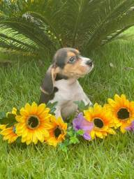 Beagle disponíveis
