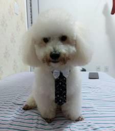 Poodle toy macho (para cruzar)