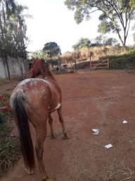 Égua Apalosa