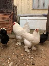 Casal de galinhas brahma