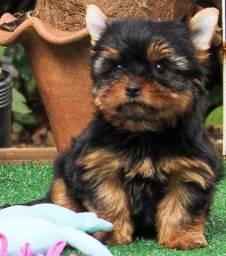 Machinho Yorkshire Terrier