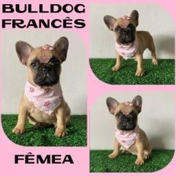 Belíssima Bulldog Francês Fêmea + Microchipe + Garantia + Parcelamos em até 12x