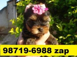 Canil Lindos Filhotes Cães BH Yorkshire Basset Poodle Lhasa Maltês Shihtzu Spitz