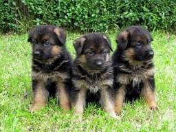 Vendo Lindos filhotes de Pastor Alemão estilo policial.