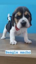 Fofura de Beagle ja vacinados e vermifugados