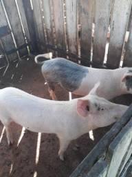 Porco landrace