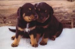Filhotes de cachorro Rottweiler fêmea  raça pura