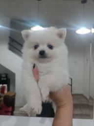 Lulu da Pomerânia Macho Anão Branco Neve Tailandês