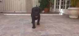 Labrador macho.