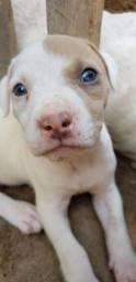 Vendo filhotes de pitbull red nose com 38 dias
