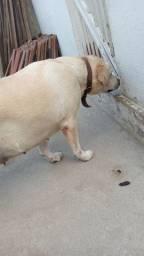 Labrador prenha