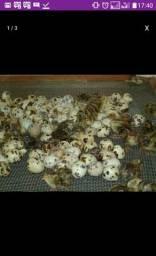 Vendas de pintos de codornas