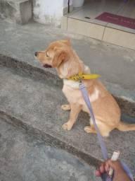 Cadela Labradora