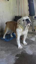 Vende-se Bulldog Inglês macho com pedigree