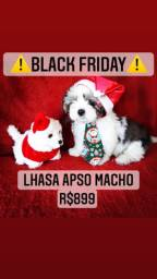 Black Friday! Lindíssimo Lhasa Apso Macho