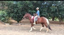 Cavalo castrado marcha picada