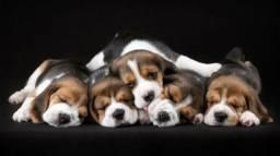 Beagle Lindos Filhotes !