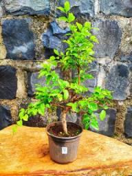 Pré bonsai de diversas espécies