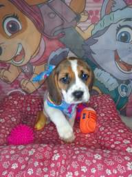 Fêmea de beagle tricolor
