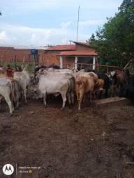 Novilhos gado