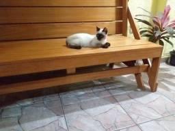 Título do anúncio: Gato Siamês !