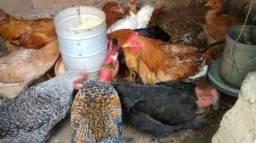 Venda de lotes de galinhas caipiras
