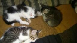 Adoção Gatos filhotes