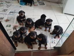 Filhotes de rottweiler a venda com 45 dias