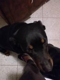 Rottweiler femea para cobertura procura se macho