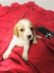 Beagle espontâneo