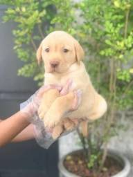 Labrador todas as cores