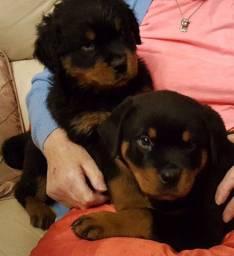 Rottweiler, macho e fêmea com garantias de vida e saúde