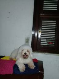 POODLE TOY PURO