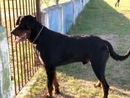 Cães da raça rottweiler à venda.