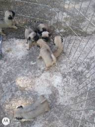 Lindos Pugs Femeas