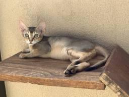 Abissínio ( mini puma )