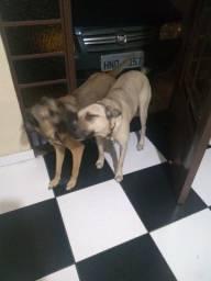 Cães para Vigilância Doação