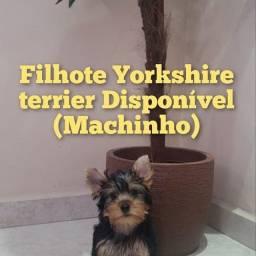 Lindo filhote de Yorkshire macho