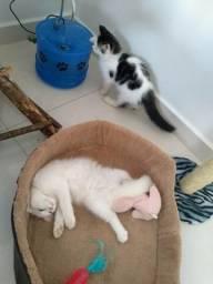 Filhotes maine gato gigante