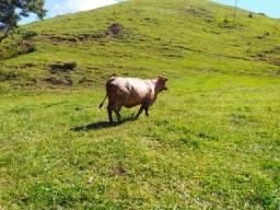 Vaca Montana