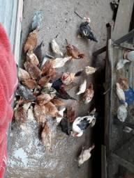 Vendo galinhas, patos e pintos