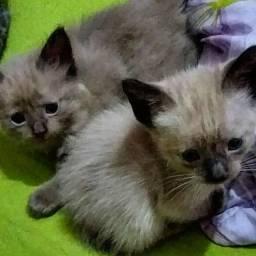 2 Gatinhos filhotes Tipo Siameses| Adoção Responsável
