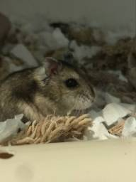 Doação de hamster anão russo