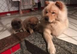 Lindos filhotes de Chow Chow disponivel
