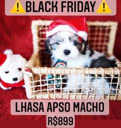 Black friday!! Lhasa Apso Macho R$899