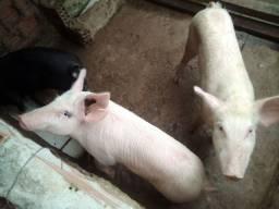 3 porcas fêmeas