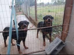 Rottweiler cabeça de touro 3 DOSES VACINA IMPORTADA