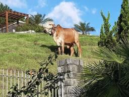 Vaca Gir Nova